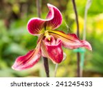 Lady Slipper Orchid Is Unique...
