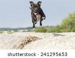Jumping Stafford Bull Terrier