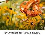 Tiger Lily In Garden. Lilium...