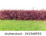 Purple Bush Isolated On White...