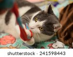 grey cat plays with toy   Shutterstock . vector #241598443
