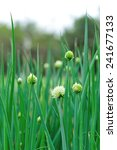 green spring onion in growth at