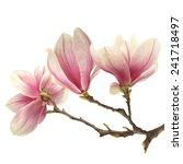 fresh magnolia  | Shutterstock . vector #241718497