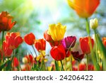 Stock photo beautiful spring flowers 24206422