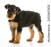 Small photo of airedale terrier puppy standing on white background