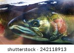 Salmon Head Close Up Issaquah...