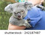 koala bear in hands of a lady... | Shutterstock . vector #242187487