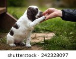 Stock photo puppy gives paw 242328097