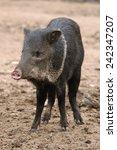 collared peccary  pecari tajacu ... | Shutterstock . vector #242347207