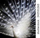 beautiful white peacock | Shutterstock . vector #242531263