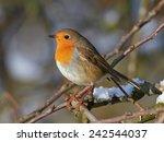 european robin  erithacus... | Shutterstock . vector #242544037