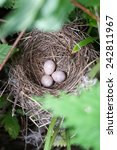 Small photo of Nest of the Blyth's Reed Warbler (Acrocephalus dumetorum) with eggs.