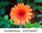 Orange Gerbera Flower   Top...