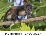 Small photo of Baby montled howler monkey (Alouatta palliata) climbing tree branch in rainforest canopy, Cahuita national park, Limon, Costa Rica.