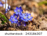 Hepatica Flowers That Blooming...