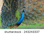 portrait of beautiful peacock... | Shutterstock . vector #243243337