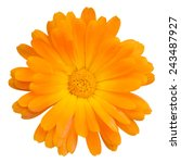 Orange Daisy Flower Isolated O...