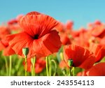 Stock photo beautiful poppies bloom amidst poppy fields in pastel colors 243554113