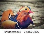 Mandarin Duck  Aix Galericulata