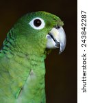 Small photo of mealy amazon male (Amazona farinosa farinosa)
