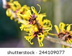 Hamamelis Or Witch Hazel