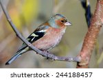 chaffinch perched on branch ... | Shutterstock . vector #244188457