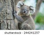 Australian Koala Sit On Tree ...