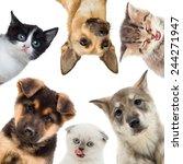 group of pets looking | Shutterstock . vector #244271947