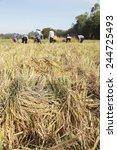 farmers harvest rice in field | Shutterstock . vector #244725493