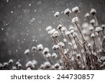 dead coneflower plants covered... | Shutterstock . vector #244730857
