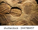 fossil trilobite imprint in the ...