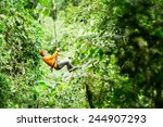 adult tourist on zip line... | Shutterstock . vector #244907293