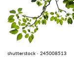 Green Tree Branch Isolated