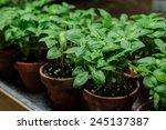 Raw Of Orange Basil  Pots
