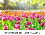 colorful tulips  tulips in... | Shutterstock . vector #245406343