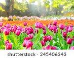 colorful tulips  garden in... | Shutterstock . vector #245406343