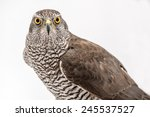 Fanciers Hawk. Hawk Portrait...