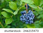 Ripe Blueberry Cluster On A...