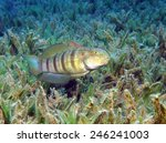 Small photo of Tailspot goby (Amblygobius albimaculatus) guarding the entrance of its burrow in a seagrass patch