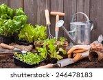 Seedlings Of Lettuce With...