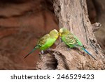 Two Green Budgies Playing With...