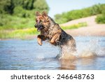 German Shepherd Dog Playing In...