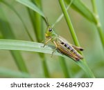 Meadow Grasshopper  Chorthippu...
