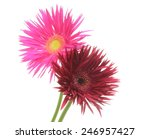 transvaal daisy in a white... | Shutterstock . vector #246957427