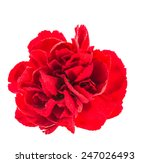 Red Flower Isolated On White...