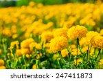 Marigold In The Garden Thailand