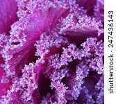 Ornamental Decorative Cabbage...