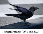 Jungle Crow Or Japanese Crow
