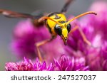 Yellow Wasp On Flowers In The...