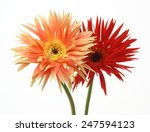 transvaal daisy in a white... | Shutterstock . vector #247594123